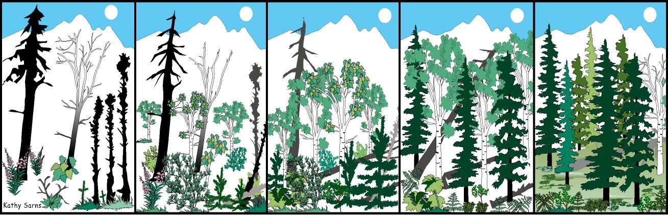 Usfws alaska fire management illustration of 5 boreal forest succession stages from herbaceous to climax publicscrutiny Choice Image